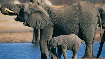 Zimbabwe, Hwanae National Park, Elephant and baby drinking at pool. (Loxodonta Africana). (Photo by: Eye Ubiquitous/UIG via Getty Images)