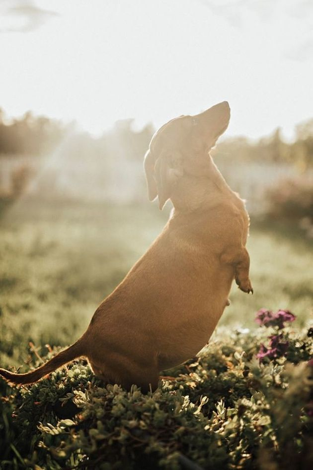 Pregnant Dachshund's Maternity Photos Are Beyond