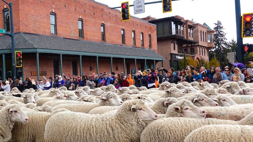 Sheep gridlock on Main Street, Ketchum, Idaho.