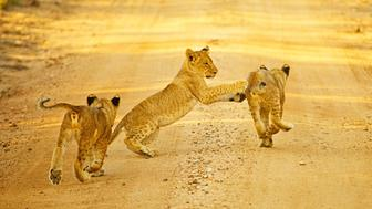 Three lion cubs play as they follow their mother down a dirt road, South Africa. The lion is one of the five big cats in the genus Panthera and a member of the family Felidae. With some males exceeding 250 kg in weight, it is the second-largest living cat after the tiger. (Photo by: Shannon Benson/VW Pics/UIG via Getty Images)