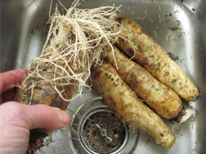 Raw chicory root.