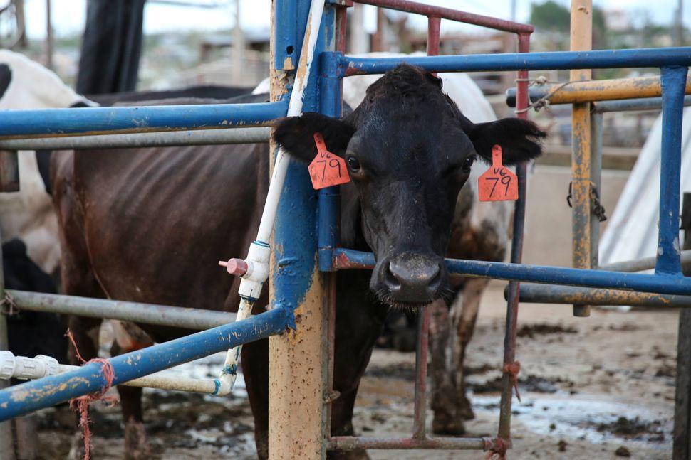 A cow at Rubén González Echevarría's dairy farm inArecibo.