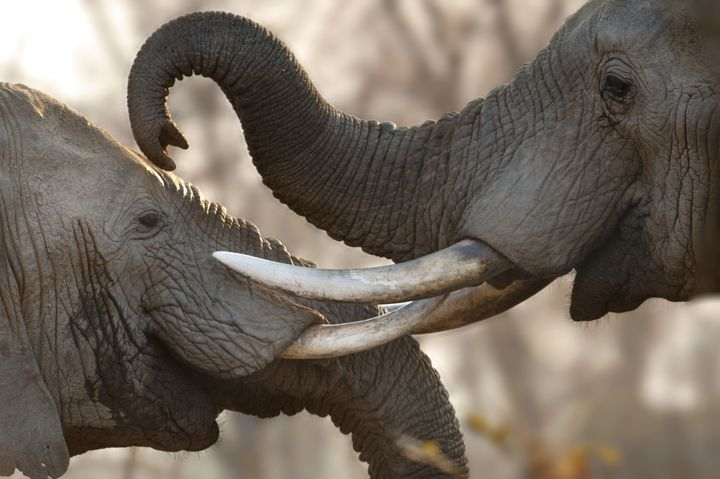 Bull African elephants sparring at South Luangwa National Park, Zambia.
