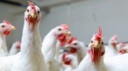 Animal Welfare Groups Slam Proposal To Speed Up Poultry Plant