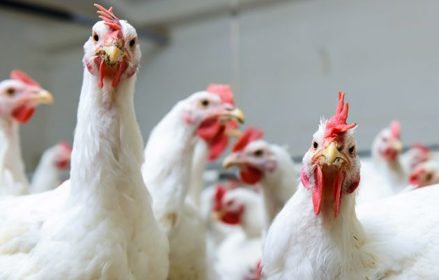Animal rights and welfare groups say a proposition to speed up chicken processing lines will make slaughterhouses...
