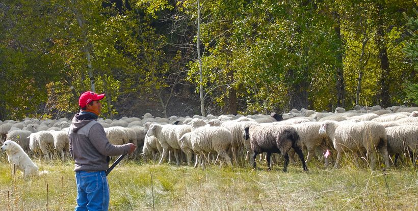 A lone sheepherder and his flock near Ketchum, Idaho.