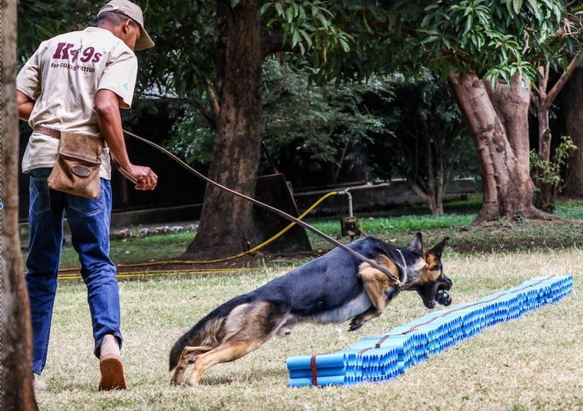 Canine handlers from Uganda, Tanzania, and Kenya demonstrate how sniffer dogs locate wildlife contraband during a learning ex