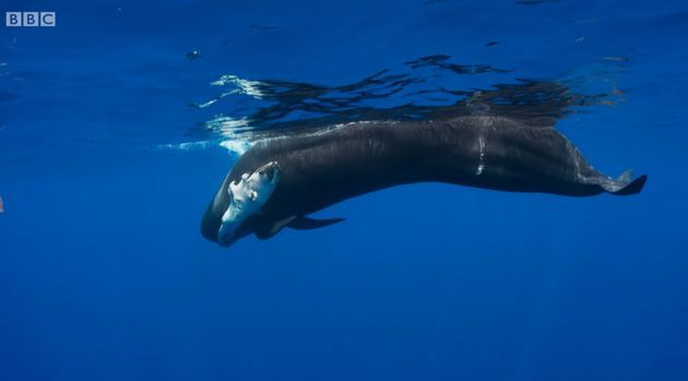A pilot whale was filmed carrying round her dead