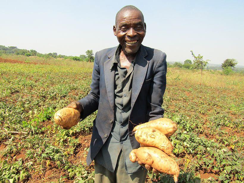 William Binalison harvests his sweet potatoes on his farm in Taiza village, Lilongwe district, Malawi.