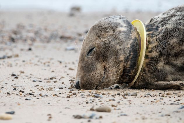 Injured seal with a plastic frisbee stuck around its