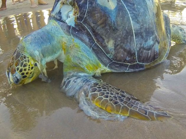 A dead sea turtle wrapped in plastic on the shores of Porto de Galinhas beach in Ipojuca,