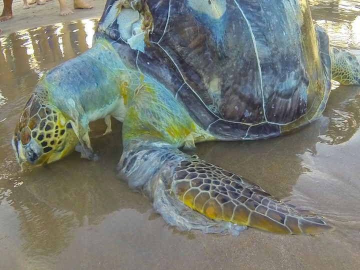 A dead sea turtle wrapped in plastic on the shores of Porto de Galinhas beach in Ipojuca, Brazil.