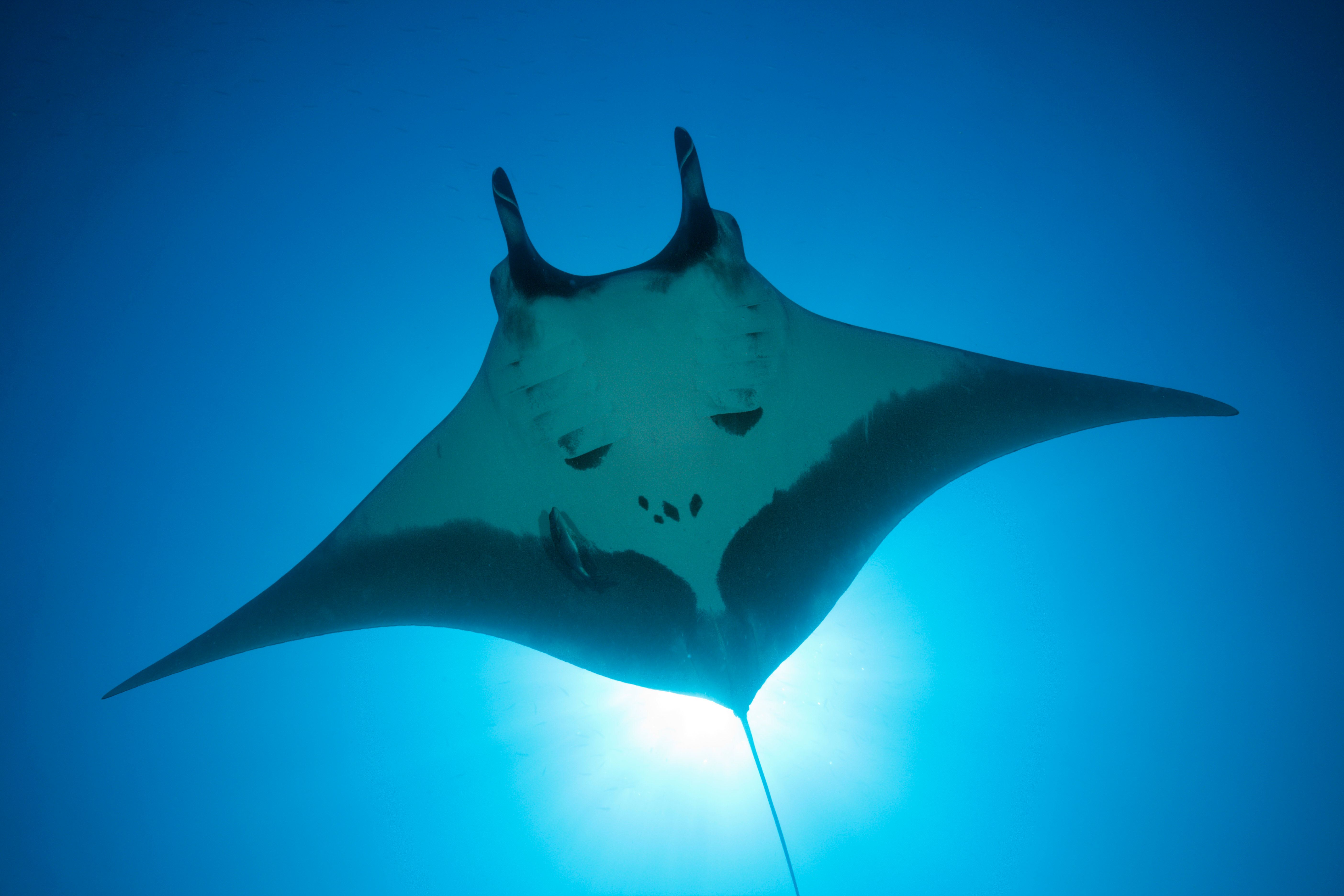 (GERMANY OUT) Manta, Manta birostris, San Benedicto, Revillagigedo Islands, Mexico  (Photo by Reinhard Dirscherl/ullstein bild via Getty Images)