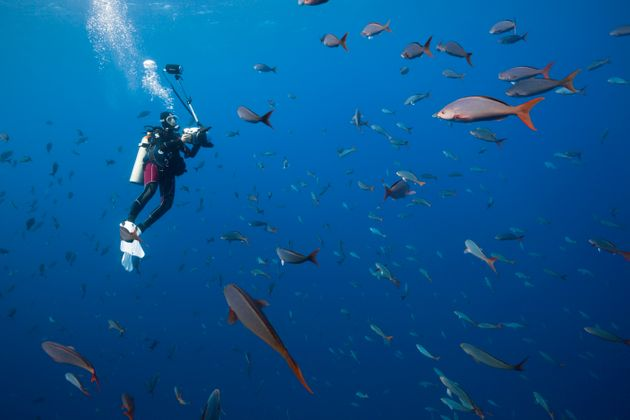 A scuba diver swims with Pacific creolefish near the Revillagigedo