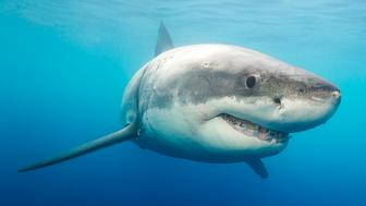 A great white shark