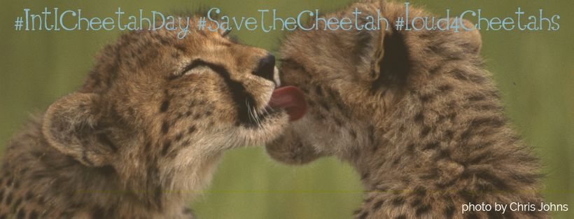 "Social Media banners available for download at <a rel=""nofollow"" href=""https://www.internationalcheetahday.org"" target=""_blan"