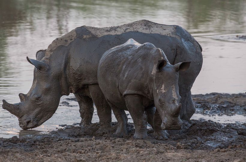 Two white rhinos by watering hole. Photo by permission, AWF.