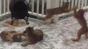 A mother lynx is seen playing with seven juveniles on a porch in Alaska