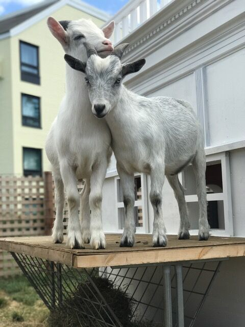 "Meet Cornelius and William, the ""unofficial mascots"" of Gurney's Newport on Goat Island."