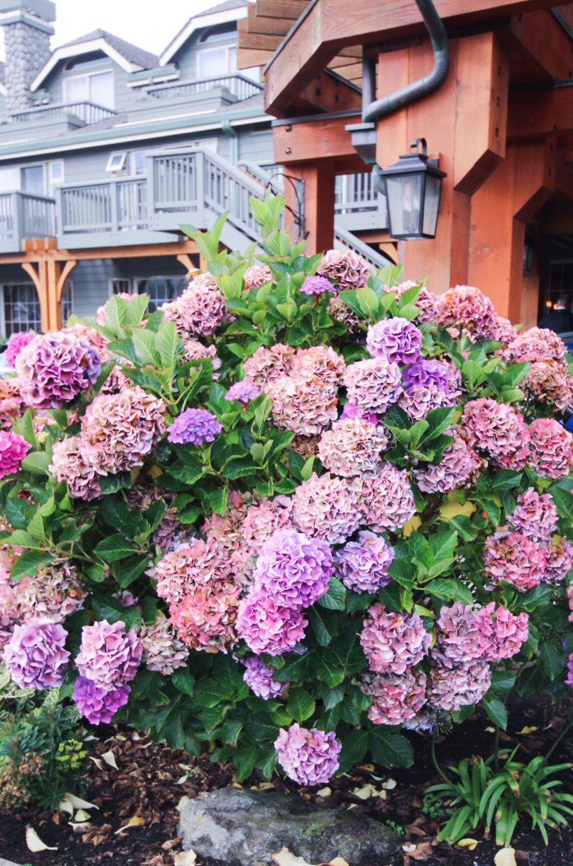 Blooming hydrangeas take over Cannon Beach in the fall. Taken at Stephanie Inn.