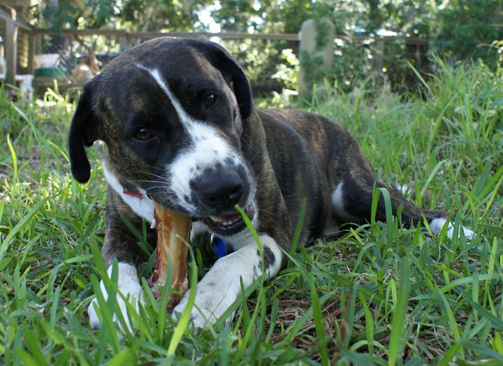 """The Food and Drug Administration continues to warndog owners that""""bone treats"""" can be dangerous."""
