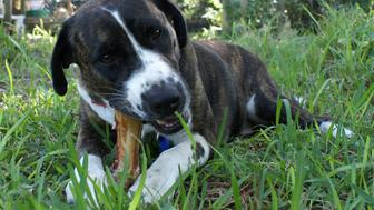 Beethoven the dog, a pit bull cross, working on a big bone.  One of two files in portfolio featuring Beethoven.
