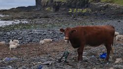 Footage Of Cow Chewing Plastic Net On Scottish Beach Highlights Tragic Reality Of Ocean