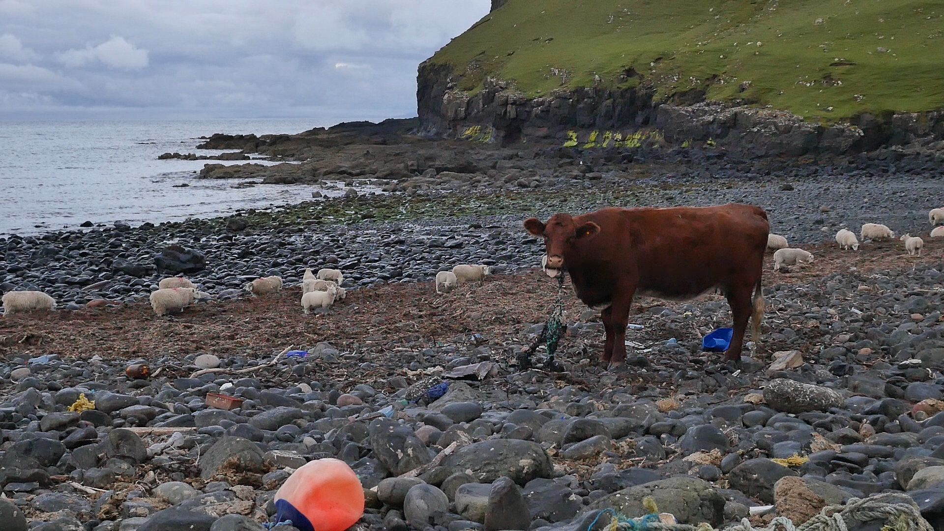 Cow chewing on plastic fishing net