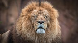 Trophy Hunting Could Cause Extinction In Stressed Populations – New