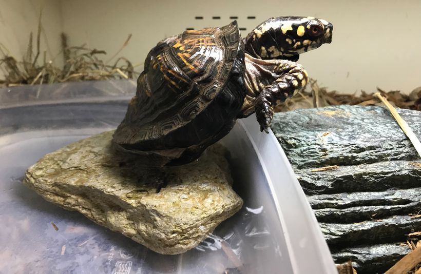 Eastern box turtle Juliet climbs out of her soaking pool