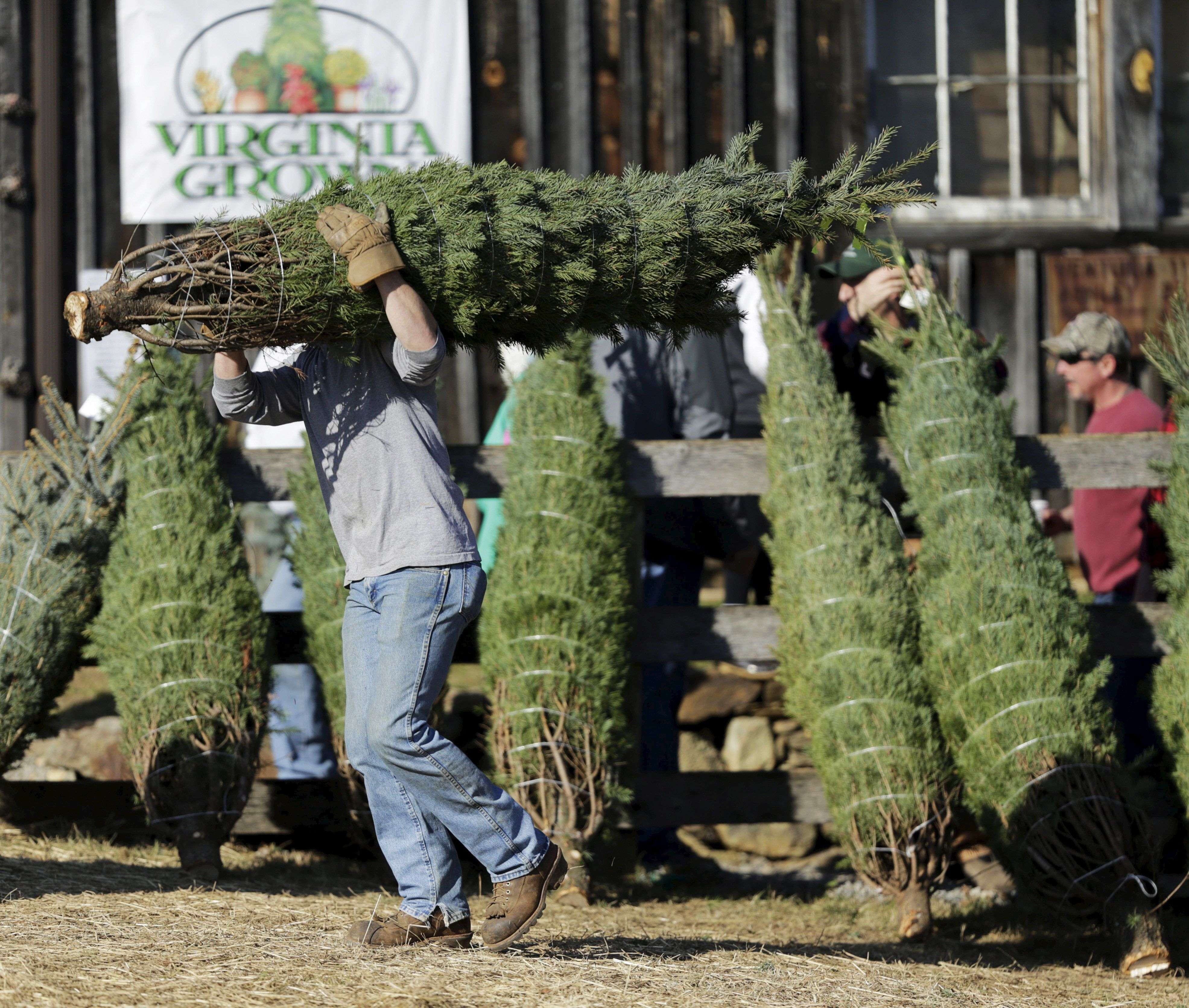 An employee carries a customer's freshly cut tree at the Snickers Gap Christmas Tree Farm in Round Hill, Virginia December 6, 2015. Snickers Gap is a 35 year-old family owned operation that currently has 36,000 Christmas trees planted on forty acres in rural Virginia outside of Washington. Picture taken December 6, 2015.  REUTERS/Gary Cameron