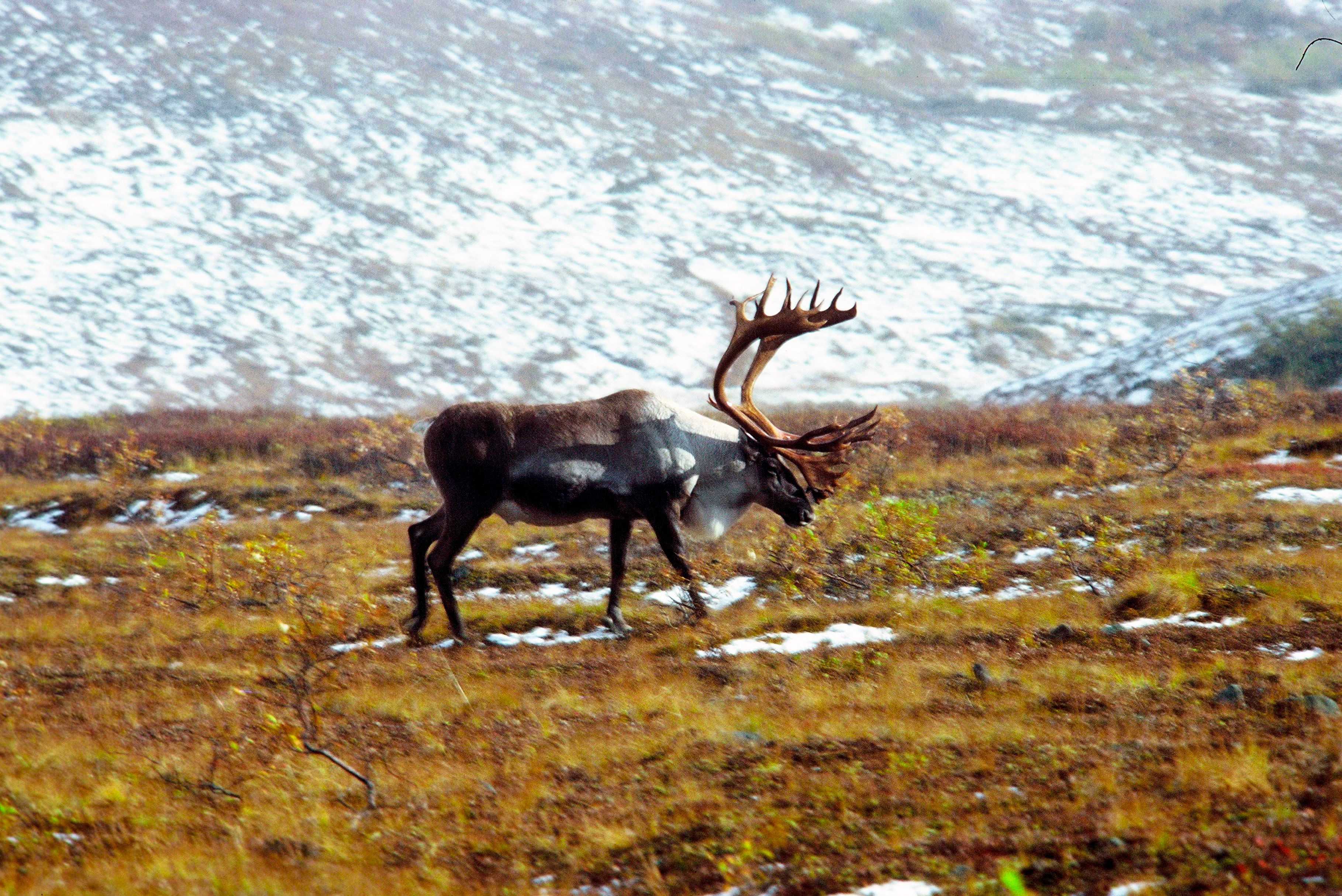 Alaska, Arctic National Wildlife Refuge, ANWR,, Bull Caribou. (Photo by: Education Images/UIG via Getty Images)