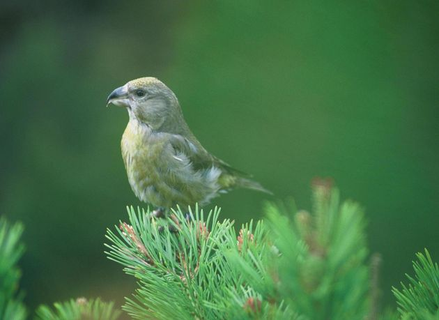 Scottish crossbill faces climate change extinction