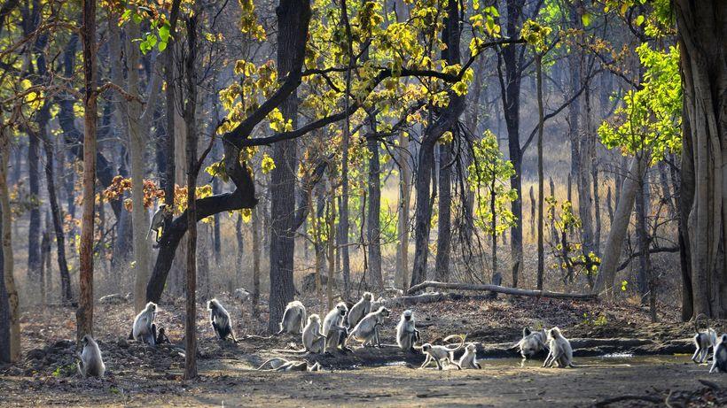 "Beautiful capture of langurs in Pench by <a rel=""nofollow"" href=""https://www.pugdundeesafaris.com/"" target=""_blank"">Pugdundee"