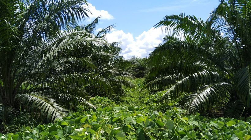 Plantation at Sarawak Oil Palms Berhad