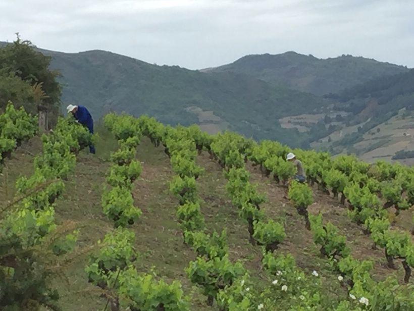 Vineyard workers hand pruning on the hillside.