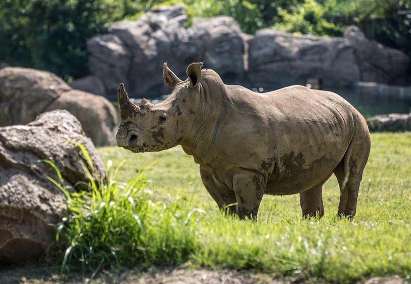 White rhino after mud bath at Nashville Zoo