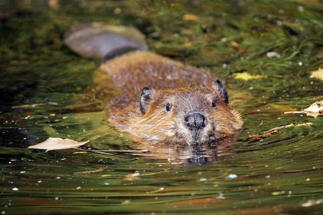 Bringing The Beaver Back To Britain Will Transform Our
