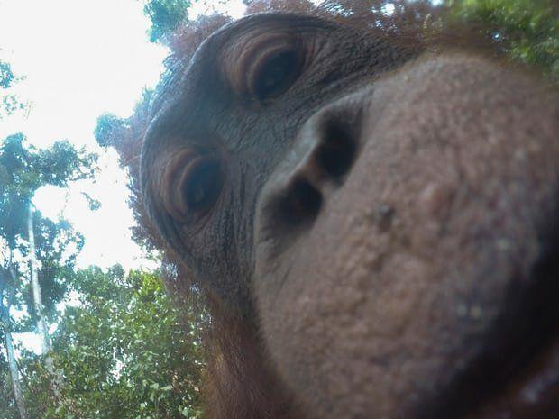 Ένας ουρακοτάγκος του έκλεψε την κάμερα και έβγαλε τις καλύτερες selfies που έχετε
