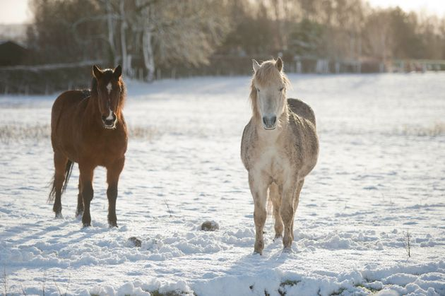Ponies stand in a snow-covered field in the Republic of