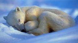 Το ίντερνετ παρακολουθεί σοκαρισμένο το θάνατο μιας πολικής αρκούδας από την πείνα, λόγω της κλιματικής
