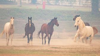 Horses wait to be evacuated from the San Luis Reye Downs Training Center