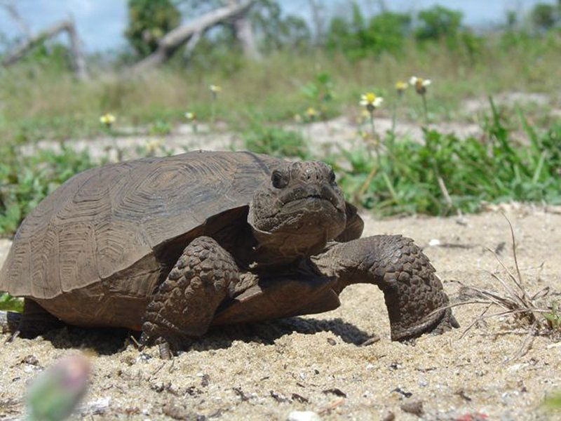 Florida's gopher tortoises arethreatened species.