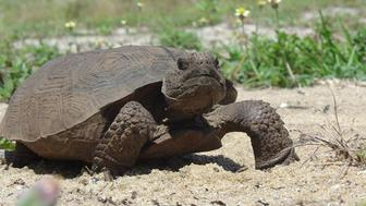 A gopher tortoise is pictured this undated handout photo courtesy of Florida Fish and Wildlife Research Institute (FWC). Wildlife authorities in Florida caught a man who killed and ate 15 gopher tortoises and planned to slaughter 11 more of the threatened reptiles, a spokeswoman said on August 28, 2014.  REUTERS/Florida Fish and Wildlife Research Institute (FWC)/Handout via Reuters  (UNITED STATES - Tags: ANIMALS) FOR EDITORIAL USE ONLY. NOT FOR SALE FOR MARKETING OR ADVERTISING CAMPAIGNS. THIS IMAGE HAS BEEN SUPPLIED BY A THIRD PARTY. IT IS DISTRIBUTED, EXACTLY AS RECEIVED BY REUTERS, AS A SERVICE TO CLIENTS