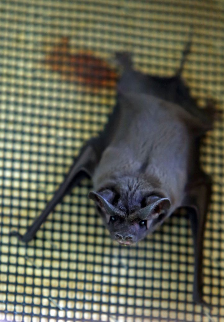 A loss of habitat and pesticides are blamed for endangering the Florida bonneted bat.