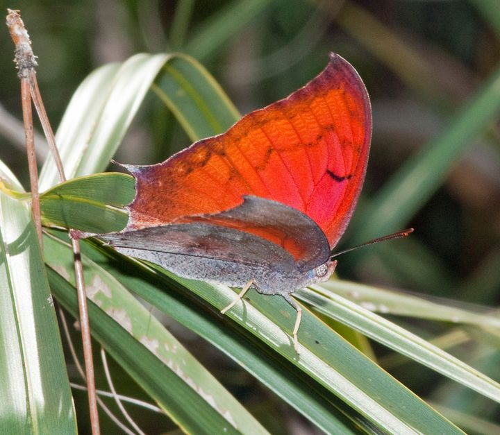 The Florida leafwing Butterfly is endangered along with the Bartram's scrub-hairstreak butterfly. Both species were comm