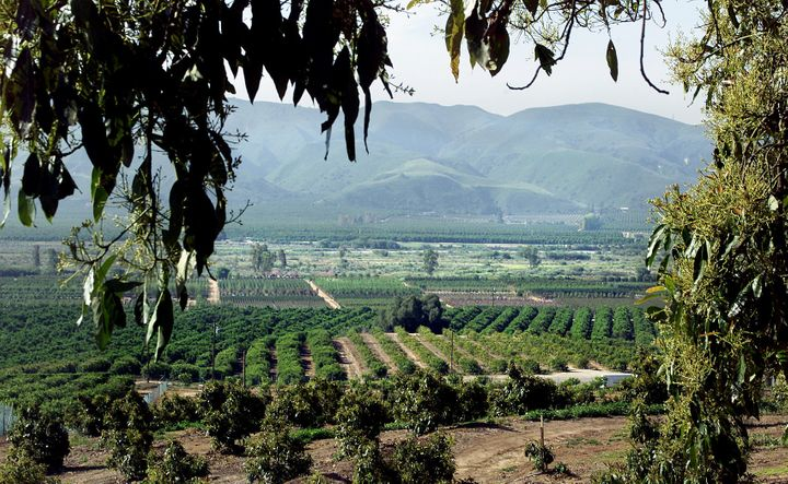 A view of Ventura County's avocado and citrus orchards on a typical day, pre-fires.