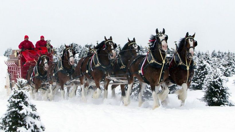 How The Clydesdales Became The Symbols Of Budweiser Huffpost