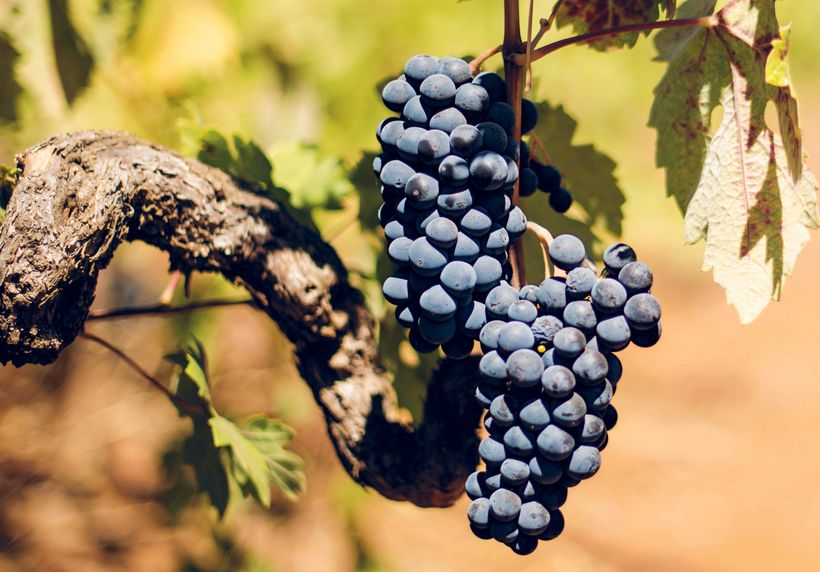 Zinfandel grapes growing at Kunde Winery in Sonoma, California