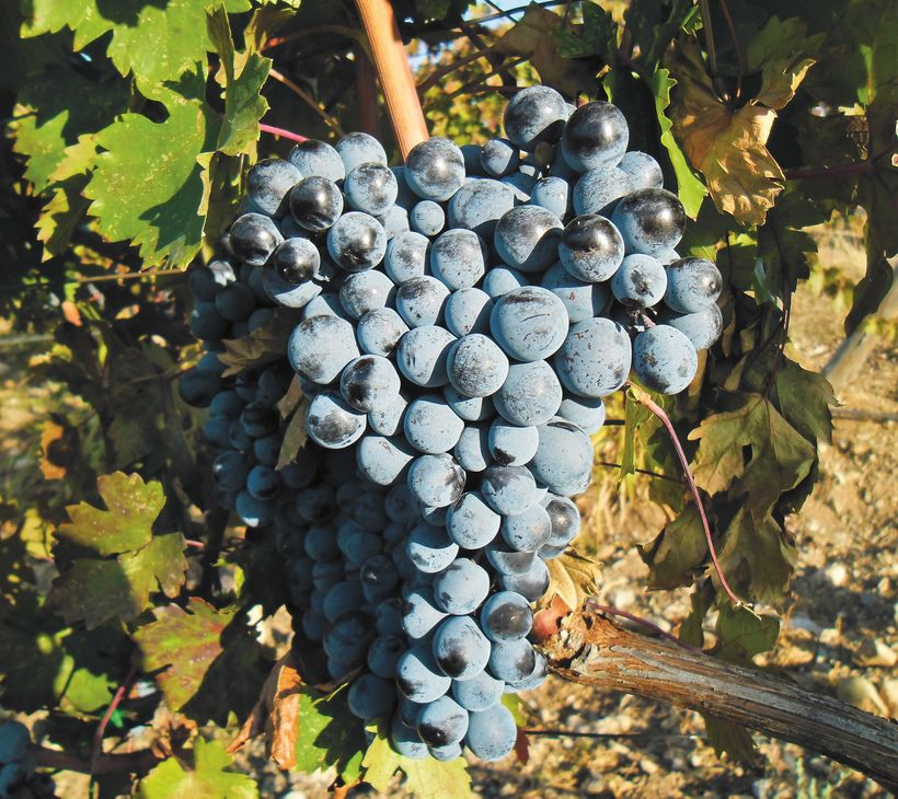 Boğazkere grapes growing in the vineyards of Vinkara Winery in Turkey